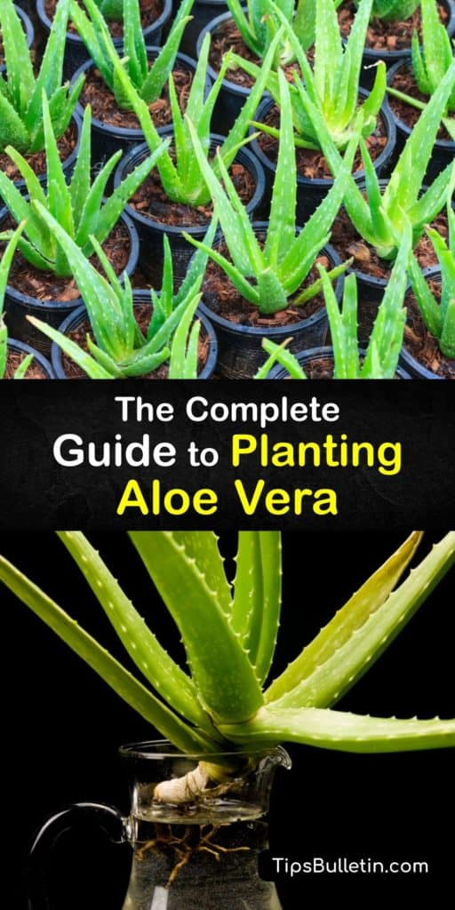 Discover how to repot and grow an aloe vera plant. Use a succulent potting soil mix, or make your own potting mix with sand, compost, and perlite. Avoid overwatering, and use a pot with drain holes to prevent root rot. Use aloe gel for sunburn relief. #planting #aloevera