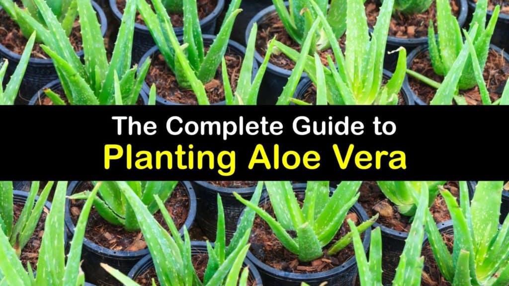How to Plant Aloe Vera titleimg1