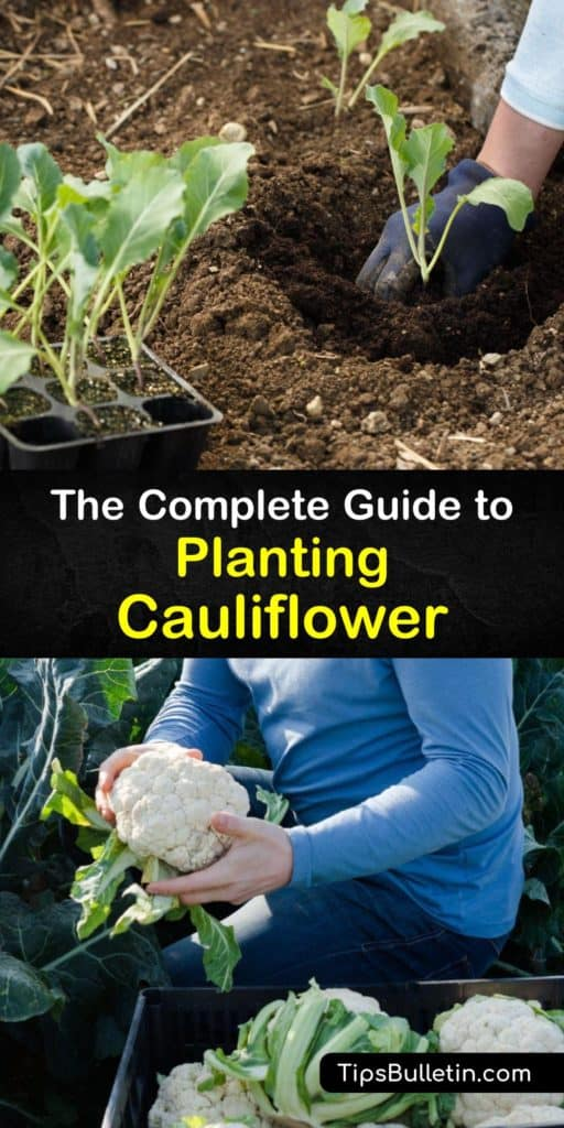 Find out all about growing cauliflower, or Brassica oleracea, in your garden. Protect the plants from pests like aphids, cabbage loopers, and cabbage worms with row covers after transplanting to ensure they develop a large cauliflower head or curd. #grow #cauliflower #planting