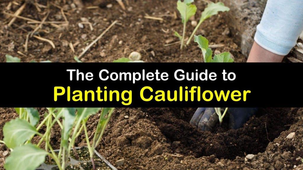 How to Plant Cauliflower titleimg1