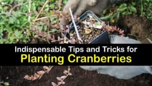 How to Plant Cranberries titleimg1