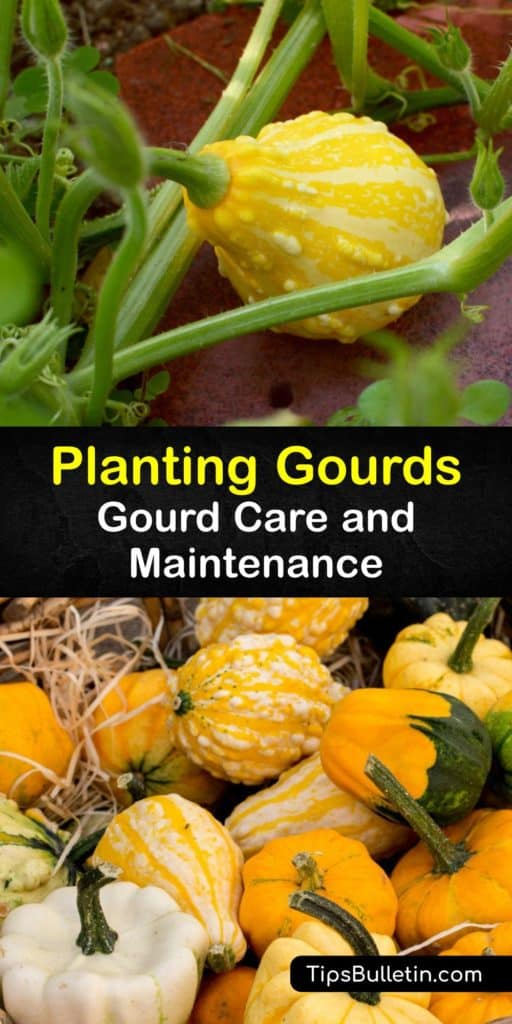 Turn Birdhouse, Luffa, and other hard-shell Cucurbita gourd seeds into beautiful crafts by the end of the growing season. This detailed guide teaches you how to use ornamental gourds around your home after protecting them from cucumber beetles and enhancing germination. #howto #planting #gourds