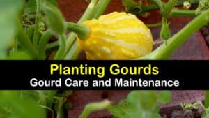 How to Plant Gourds titleimg1