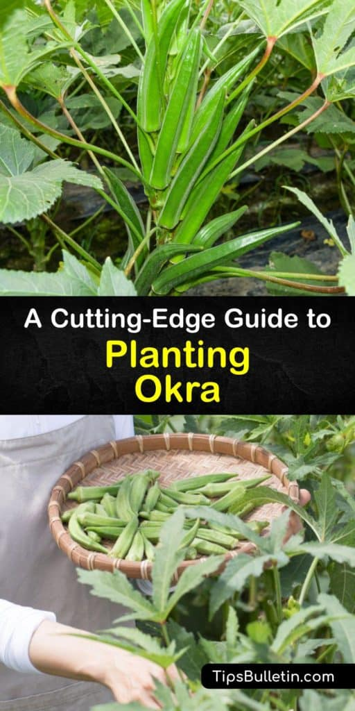 Okra plants, or Abelmoschus esculentus, are full sun annuals related to hibiscus. Try heirloom varieties like Clemson Spineless. Use mulch to hold moisture, and watch for aphids and corn earworms. Okra pods make a tasty addition to soups and stews. #howto #planting #okra
