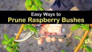 How to Prune Raspberries titleimg1