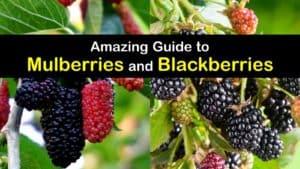 Mulberry vs Blackberry titleimg1