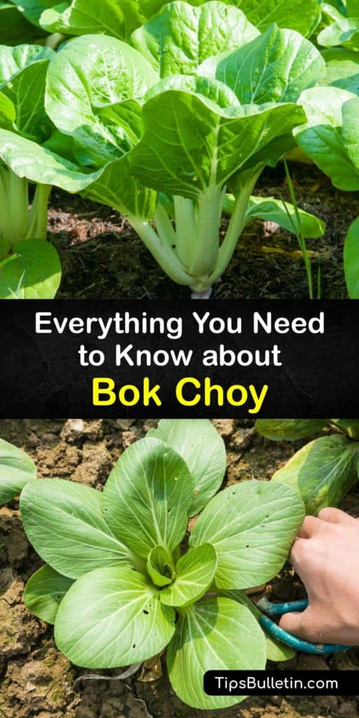 Learn all about bok choy, from how to grow it to how to make a bok choy stir-fry in a wok with soy sauce. Also called pak choi, this veggie is a member of the cabbage family and is rich in nutrients like calcium. Bok choy boasts a crunchy pale stalk and green leaves. #bokchoy #growing #cabbage