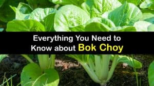 What is Bok Choy titleimg1