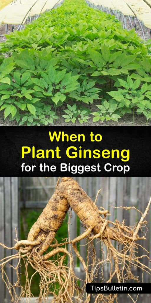 Make the long process of growing ginseng, or Panax, a little more bearable when you use stratified seed and wild-simulated ginseng practices from Canada. Ginseng plants require mulch and protection from poplar trees to form big, healthy ginseng roots for you to harvest. #when #planting #ginseng