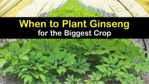 When to Plant Ginseng titleimg1