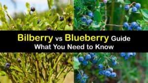 Bilberry vs Blueberry titleimg1
