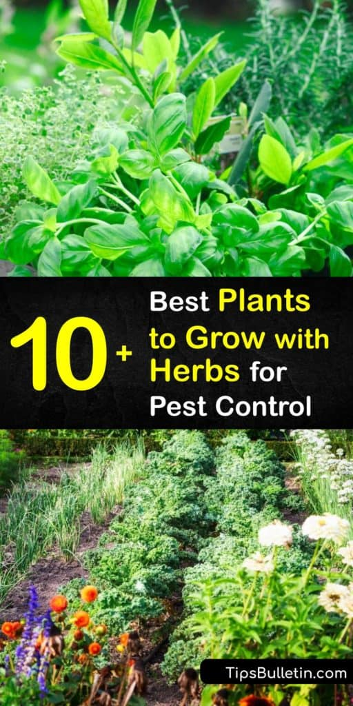 Embrace companion plants to create a flourishing herb garden full of fennel, marigolds, borage, chamomile, and oregano. These aromatic plants free your beds from harmful pests like Japanese beetles, the cabbage moth, and aphids without any hard work from you. #companion #planting #herbs