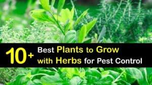 Companion Planting Herbs titleimg1