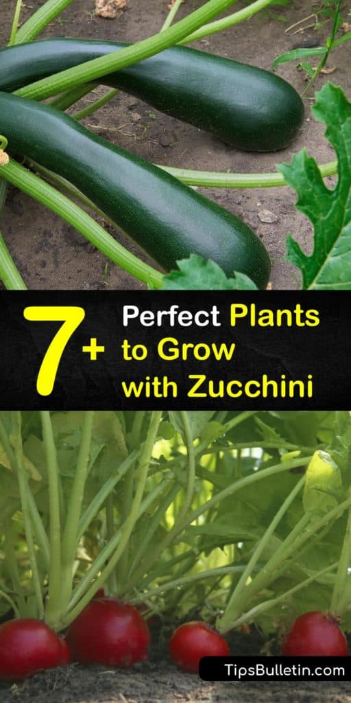 Find out what to grow with zucchini to repel pests like squash bugs and nematodes and attract beneficial insects. Use nasturtiums and marigolds to trap aphids. Try planting oregano to shade the soil and fast-growing radishes to mark the rows of zucchini plants. #zucchini #companion #plants