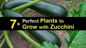 Companion Planting Zucchini titleimg1