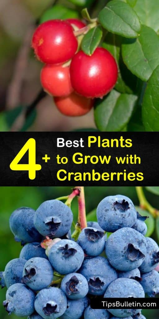 Figure out how to add cranberries into your DIY landscaping project alongside beautiful choices like marigolds, azaleas, leeks, and zucchini. These crops grow in a wide range of USDA growing zones and prefer to be near other plants that enjoy acidic soil. #cranberry #companion #plants
