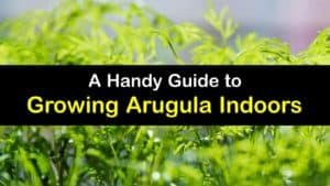 How to Grow Arugula Indoors titleimg1