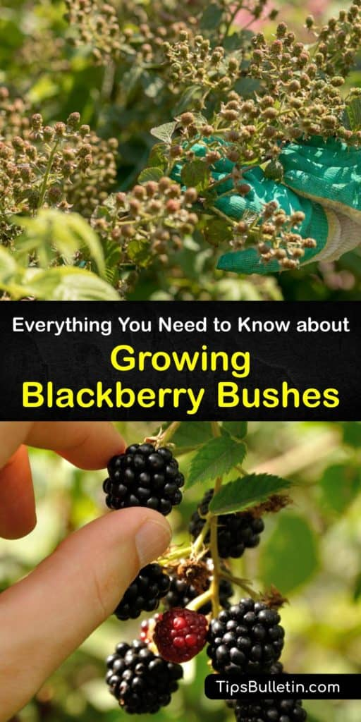Find out all about growing blackberry bushes. Plant them in full sun, use mulch to hold moisture and suppress weeds, and fertilize them regularly throughout the growing season. The canes are vegetative in the first year and produce fruit in their second year. #growing #blackberry #bushes