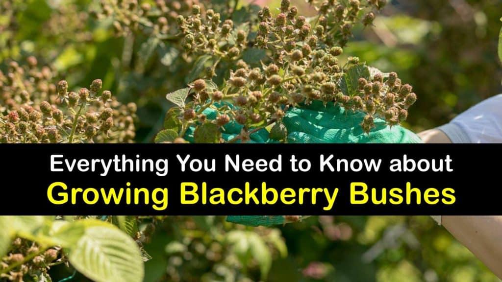 How to Grow Blackberry Bushes titleimg1