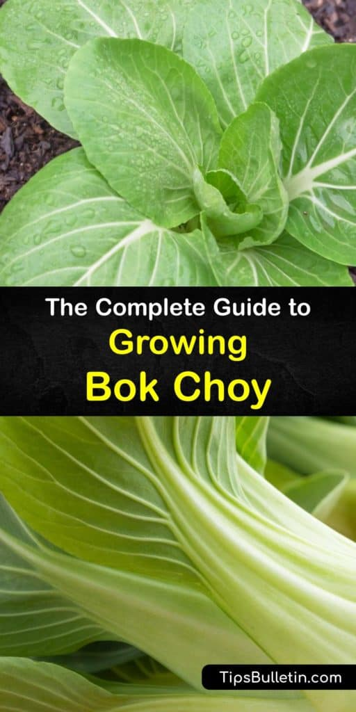Embrace your Brassica rapa chinensis, pak choi, or bok choy plants in more than Asian cuisine by growing biennial plants in the late summer. Our detailed guide tells you how to tackle pests like aphids and cabbage worms or utilize bolting to use bok choy seeds year after year. #growing #bokchoy
