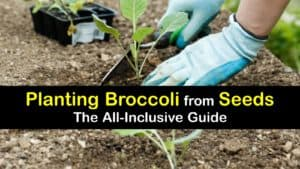 How to Grow Broccoli from Seed titleimg1