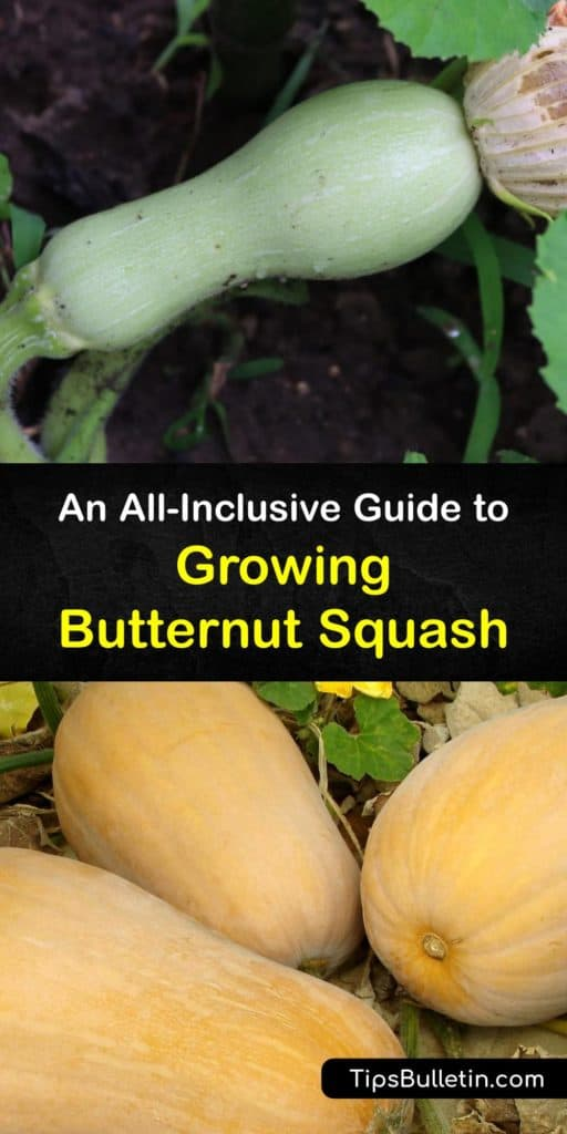 Find out all about growing butternut squash. As opposed to summer squash, which gets harvested throughout the growing season, winter squash like acorn and butternut ripen in fall. Plant in full sun, and protect from cucumber beetles and squash bugs with row covers. #growing #butternut #squash