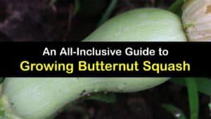How to Grow Butternut Squash titleimg1