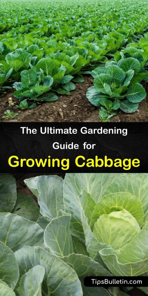 Learn about growing cabbage (Brassica oleracea). Plant green or red cabbage in an area with full sun around your average last frost date. Use mulch to hold moisture, and deter aphids, cabbage loopers, and cabbage worms with row covers. #growing #cabbage #planting