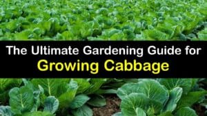 How to Grow Cabbage titleimg1