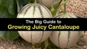 How to Grow Cantaloupe titleimg1