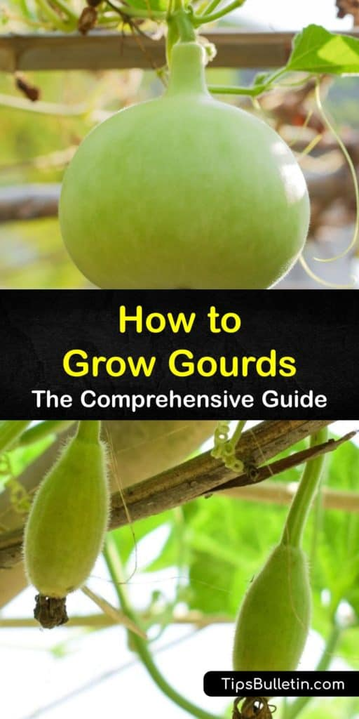 Find out all about growing gourds at home. Ornamental gourds are cucurbits related to melons and squash. Gourd plants grow best on a trellis. They love heat and have a long growing season. Makemake birdhouses from hard-shell gourds, and sponges from luffa gourds. #growing #gourds