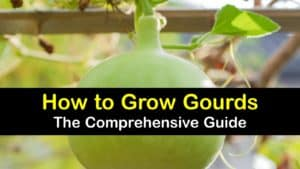 How to Grow Gourds titleimg1