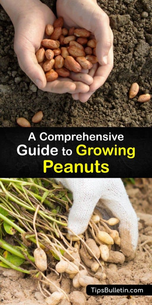 Discover how to plant peanut seeds and make homegrown peanut butter. Originating from South America, there are runner, Spanish, Valencia, or Virginia peanut. Use mulch to retain soil moisture, and ensure the plants get enough calcium by adding bone meal or gypsum. #growing #peanuts