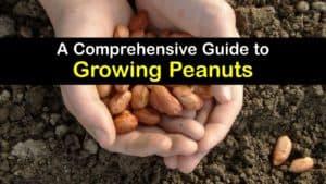 How to Grow Peanuts titleimg1