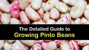 How to Grow Pinto Beans titleimg1