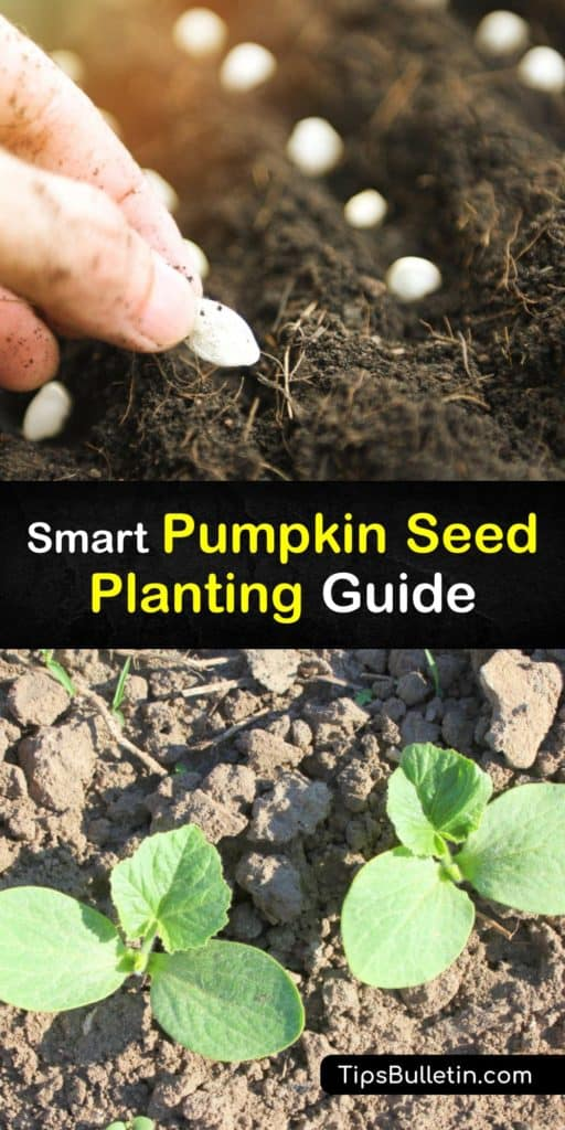 Plant pumpkins at the start of the growing season in late May and learn everything there is to know about pollination with female flowers, improving germination, finding full sun, and preventing issues with cucumber beetles, powdery mildew, and aphids. #growing #pumpkins #seed