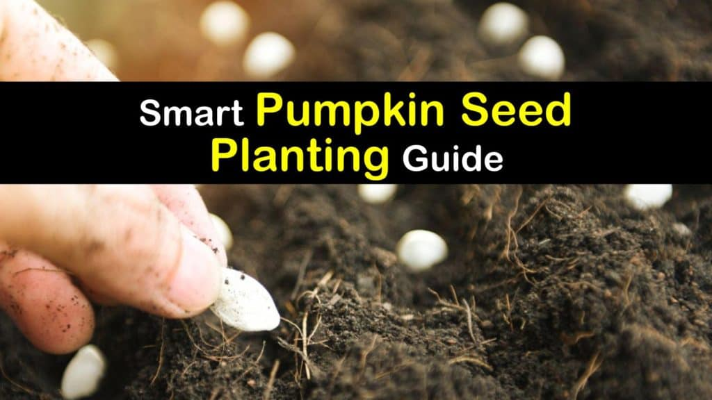 How to Grow Pumpkins from Seed titleimg1