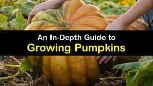 How to Grow Pumpkins titleimg1