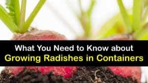 How to Grow Radishes in a Container titleimg1
