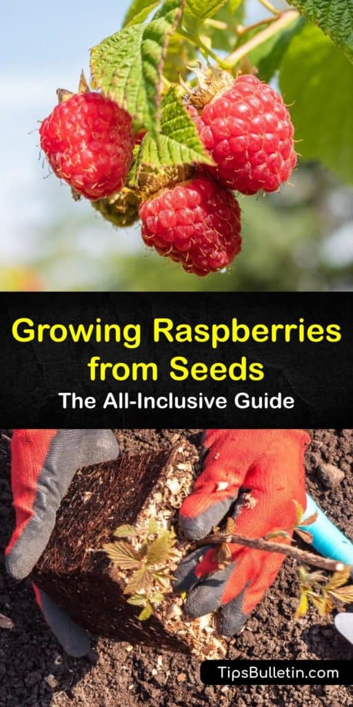 Discover the best tips for growing raspberries in your garden. From germination in early spring to harvest in early fall next year, we've got you covered. Plant yellow, red, or black raspberries in USDA hardiness zones 3-9 and train the brambles to trellis. #growing #raspberry #seeds