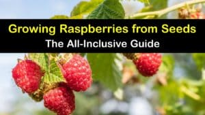How to Grow Raspberries from Seed titleimg1