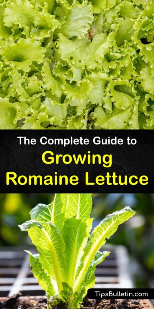 From germination to harvest, find out all about growing romaine lettuce. Germinate seeds in early spring, and use row covers to protect against pests like aphids and cutworms. With a short growing season, you'll enjoy fresh lettuce leaves in just a few weeks. #growing #romaine #lettuce