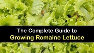 How to Grow Romaine Lettuce titleimg1