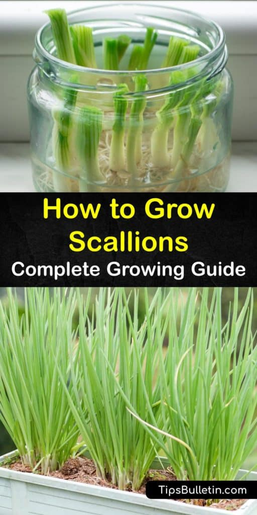 Learn all you need to know to grow scallions from seed or regrow grocery store scallions in a jar on a windowsill. Also known as spring onions, scallions belong to the same family as leeks and chives. They thrive in full sun with mulch and regular watering. #scallions #grow #greenonions