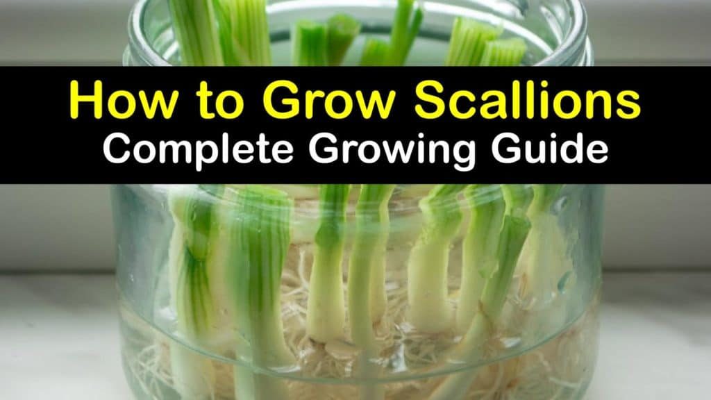 How to Grow Scallions titleimg1