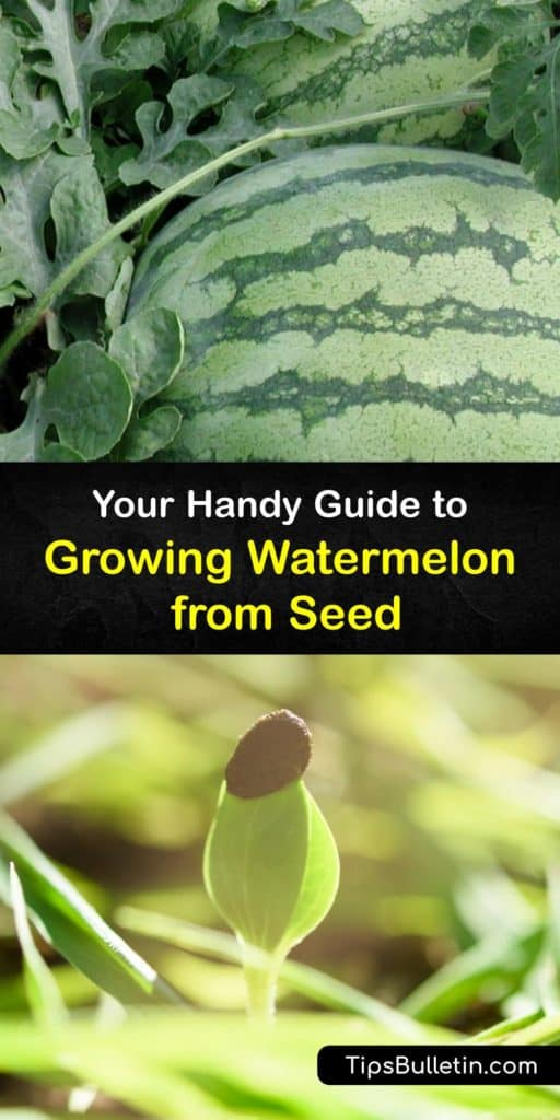 Learn how to grow your own watermelon plants from seed and enjoy a crop of sweet and juicy melons at the end of the growing season. Learn how to use mulch to maintain soil temperature and row covers to protect your plants from cucumber beetles. #planting #watermelon #seeds