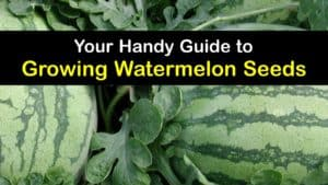 How to Grow Watermelon from Seed titleimg1