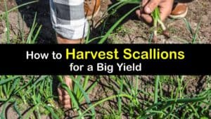 How to Harvest Scallions titleimg1