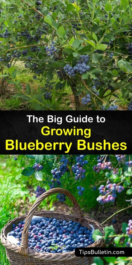 Find out all about planting blueberry bushes in your home garden or raised beds. Learn the difference between highbush, lowbush, half-high, and rabbiteye varieties. Prune in early spring, and use sawdust and peat moss to lower the soil pH. #planting #blueberry #bushes