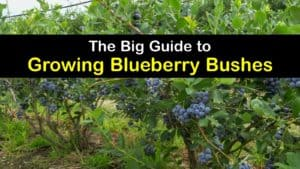 How to Plant Blueberries titleimg1